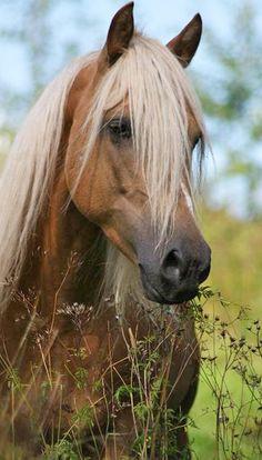 Karizma's Legacy (Farceurs Golden Legacy x Simonds Karizma) Morgan Horse Most Beautiful Animals, Beautiful Horses, Beautiful Creatures, Horse Pictures, Animal Pictures, Animals And Pets, Cute Animals, Majestic Horse, All The Pretty Horses