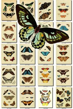 BUTTERFLIES Collection-13-ns of 202 vintage illustrations pictures images High resolution lepidoptera digital download printable moths nice