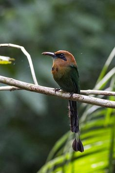 Searching for Bird Species at Canopy Tower in Panama: Broad-billed Motmots are extremely common in this part of Panama. Have you ever been birding in Panama? birdsandblooms.com