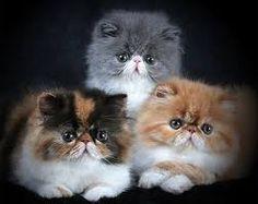 """Résultat de recherche d'images pour """"chats persans bleus"""""""