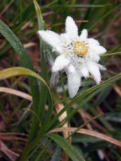 Photo about Edelweiss - Leontopodium alpinum growing in Piatra Craiului Mountains, Romania. Image of adventure, meadow, romania - 4407819 Wild Flowers, Beautiful Flowers, Alpine Flowers, City Landscape, Trees And Shrubs, Hennas, Painted Flowers, Bergen, Google Search