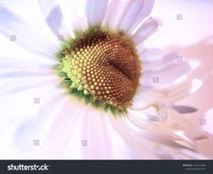 Find Close View Daisy Flower stock images in HD and millions of other royalty-free stock photos, illustrations and vectors in the Shutterstock collection. Thousands of new, high-quality pictures added every day. Textured Background, Daisy, Photo Editing, Royalty Free Stock Photos, Illustration, Nature, Flowers, Plants, Pictures