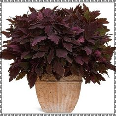 Wicked cool.  When frilly flowers just aren't your style, ramp it up with killer ColorBlaze Coleus.