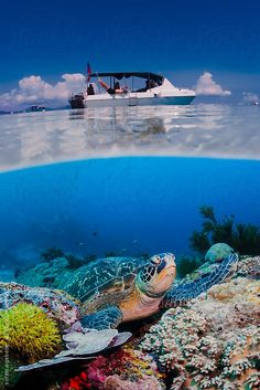 Green sea turtle sitting on coral reef in blue water under scuba diving boat on ocean surface by soren egeberg