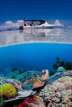 Green sea turtle sitting on coral reef in blue water under scuba diving boat on ocean surface by soren egeberg
