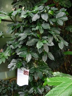 Did you know that the same plant that grows coffee beans also makes a great houseplant? Coffee plant is great for both experienced or beginner gardeners. This article has more information.