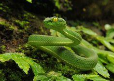 Vogel's Pit Viper (Trimeresurus vogeli) Amphibians, Reptiles, Lizards, Scary Snakes, Snake Photos, Pit Viper, Street Photographers, Amazing Photography, Wildlife