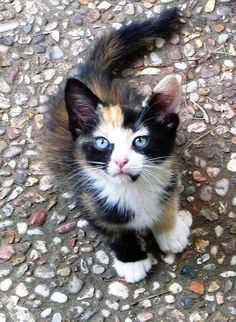 Calico Kitty. #Cat #Kitten