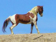 Tango, Sand Wash Basin stallion. Photo by Christine Beaumont.