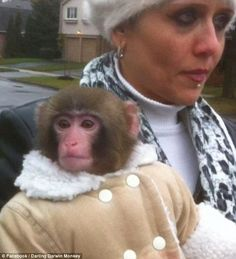 Escaped Monkey in a Fancy Shearling Coat Found at Toronto's Ikea ...