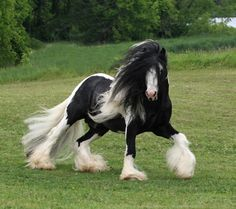 Gypsy Vanner horse The most Beautiful thing I've ever seen.