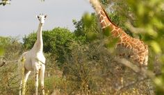 White Wolf : Rare White Giraffe With No Markings Is Spotted Grazing In The African Bush