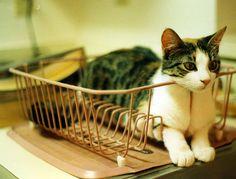 miyaviy111:    sologatos:      Cat Dish by Rob Lee    19226    モフ