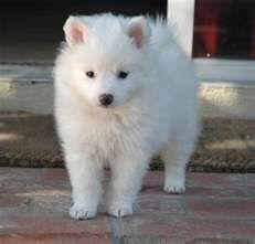 Alaskan Eskimo Dog.