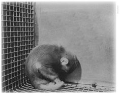 Article. Maternal Deprivation: The Cruelest Research Continues Posted by Jennifer Molidor, ALDF's Staff Writer on January 30th, 2013
