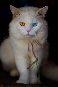 Why do some Turkish Angora cats have odd eyes? Click the picture to read