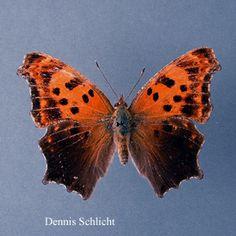 Polygonia comma (Dennis Schlicht)