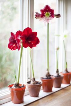 Hippeastrum (amaryllis) on a windowsill. Christmas winter house plant. Colourful indoor plant.