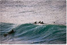 Bondi Beach, 7:30am today - pack of dolphins in the bay