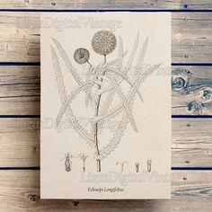 Thistle Vintage botanical print Floral art от LizasDigitalVintage