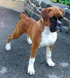What a beautiful boxer!