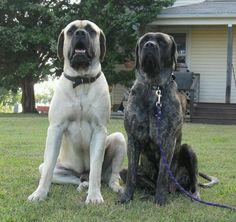 English Mastiff's I love these dogs.
