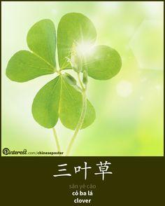 三叶草 - sānyècǎo - cỏ ba lá - clover