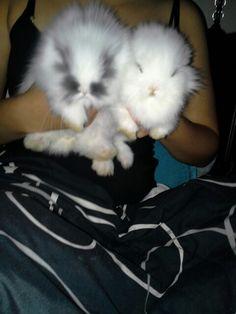 Oreo and chompers my lionhead bunnies