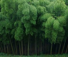 Bamboo Grove / Kanagawa, Japan