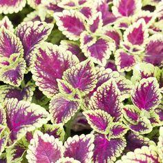 Indoor-grown coleus plants are sensitive to drafts.
