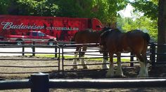 A few of the Clydesdales at the Anheuser Busch InBev brewery in St. Louis  (Joe Cruz photo).