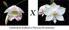 Cattleyopsis lindenii x Caularthron bicornutum