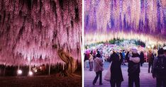 10+ Reasons You Should Drop Everything And Go To Japan's Wisteria Festival ASAP | Bored Panda