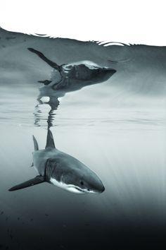 Shark Week Top 10 Shark Dives From Whale Sharks to Great White Sharks Orcas, Natur Wallpaper, Shark Diving, Whale Sharks, Scuba Diving, Save The Sharks, Shark Bait, Photo Animaliere, Great White Shark