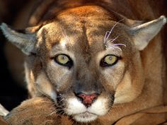 Unlike the king of jungle, the cougar does not have a flexible hyoid and are unable to roar.  They are able to purr but don't let that fool you into thinking the cougar wants to be your friend.
