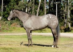 frosted blanket appaloosa | Found on horsegroomingsupplies.com