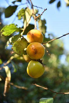 泉の森の柿の木です。実りの秋、たわわに実った柿が色づき始めていました。タテに3つの実が並んで、さながらだんご三兄弟です。 記事を書きながら、 Fruit Drinks, Photography Portfolio, Plum, Apple, Food, Fruity Drinks, Apple Fruit, Essen, Meals