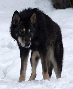 Google Image Result for http://www.tamaskan-dog.com/tdsc/images/Tums.jpg