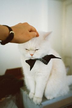 a white cat with a black bow tie - you could call this sweet cat a Tuxedo Cat, sort of. Crazy Cat Lady, Crazy Cats, Kittens Cutest, Cats And Kittens, Baby Animals, Cute Animals, Matou, Here Kitty Kitty, Grumpy Kitty