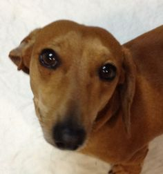 Petfinder  Adoptable | Dog | Dachshund | Moore, OK | Kevin
