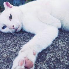 Beautiful Bella #cat #catstagram #catsofinstagram #petsitter #suzspetservices #wagga - http://ift.tt/1HQJd81