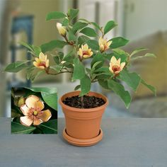 Banana Shrub  (Michelia figo), $18.95 at Logee's large plant sale, 11/25/14
