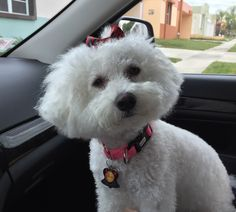 We going to the grooming salon again - I need to be pampered after the unfortunate encounter with that rude Rottweiler. Bichon Dog, Bichon Frise, God Pictures, Cute Pictures, Bichons, Grooming Salon, Lap Dogs, Puppy Eyes, Dog Boarding