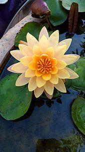 Nymphaeaceae - Wikipedia, the free encyclopedia