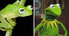 Diane's Bare-hearted Glassfrog Looks Like Kermit The Frog | Bored Panda