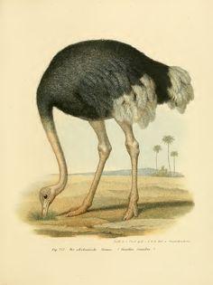 Bilder-Atlas - Naturgeschichte der Vogel, 1864 [BHL]  (ostrich)