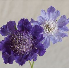 Fama Deep Blue Scabiosa (Pincushion Flower)