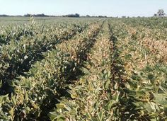 Take a peak at this revealing article to help you learn what danger signs to look for in your September Soybean Crops. http://asktheplant.com/?p=1521 #tpsl #ag #cornbelt #lab #agriculture #AgTech #Agronomics #BioTech #Farm #Farming #Farmers #Soybean