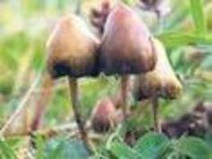 Rettender Rausch: Das aus psychedelischen Pilzen gewonnene #Psilocybin kann Menschen mit schweren #Depressionen helfen.