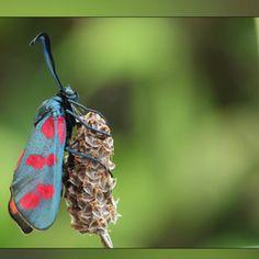 Sint Jansvlinder, gefotografeerd door Regina